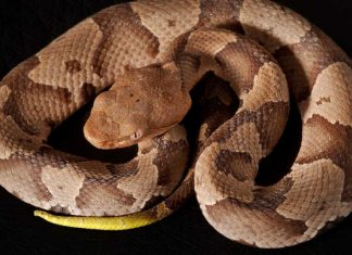 copperhead snake image