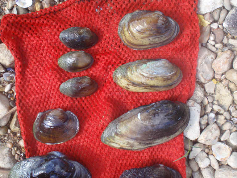 mussels from the Guadalupe River basin