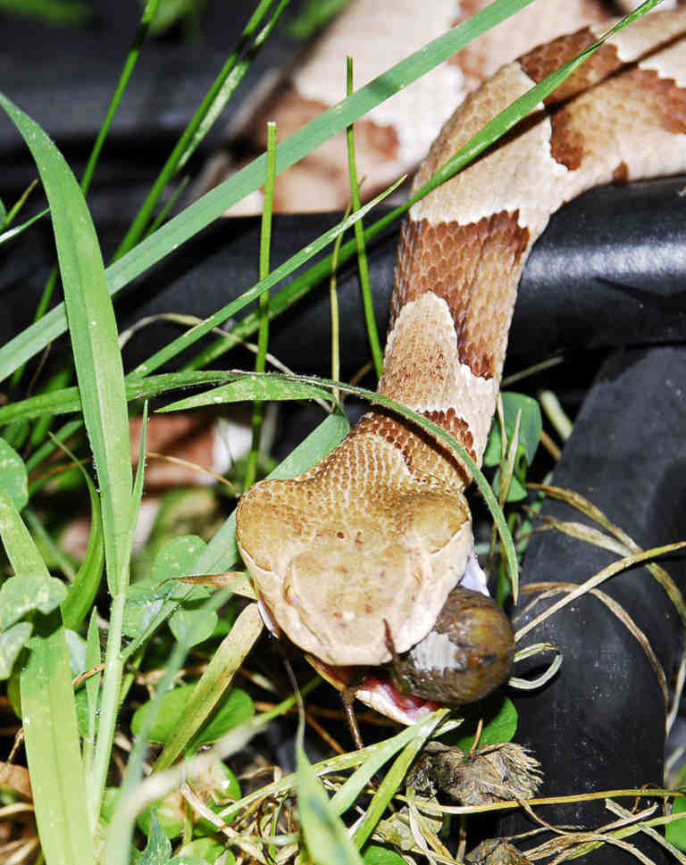 southern copperhead eating