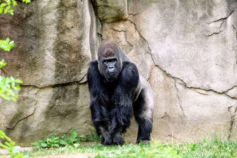 adult gorilla standing by a rock wall