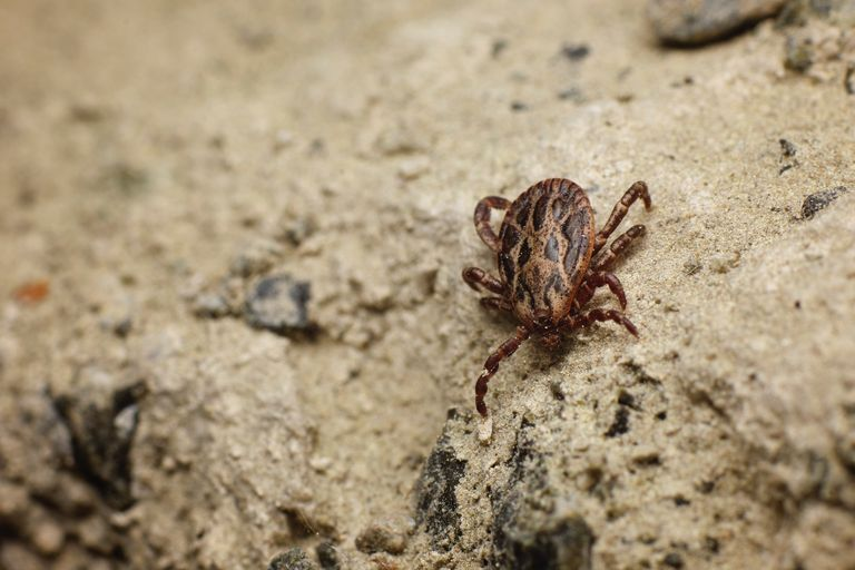 tick crawling on a dry, rocky environment
